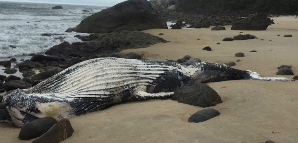 Baleia é encontrada morta em Maresias