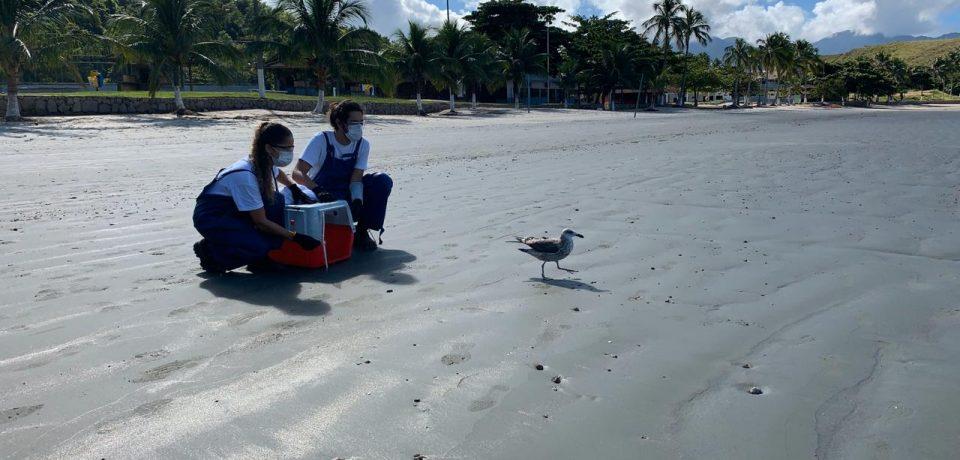 Após 25 dias em reabilitação, Instituto Argonauta realiza soltura de gaivota em São Sebastião