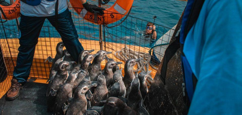 Projeto realiza soltura de pinguins nas praias do Litoral Paulista